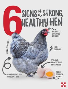 Strong never looked so good. And it all starts with nutrition. Read 6 signs of a healthy hen by clicking the graphic. Best Egg Laying Chickens, Baby Chickens, Keeping Chickens, Raising Chickens, Bantam Chickens, Best Chicken Coop, Backyard Chicken Coops, Chickens Backyard, Green Life