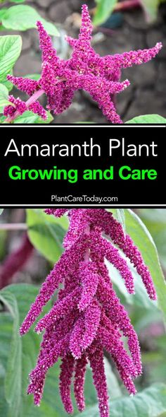 The Amaranth, also known as amaranthus or sometimes called pigweed, is an easy to grow annual flowering plant. If you desire dried flowers then. [LEARN MORE] Planting Flowers, Dried Flowers, Plants, Front Yard Landscaping, Growing, Amaranth Plant, Plant Care, Flowers, Garden Planning