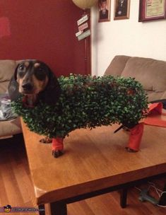 My boy Five is wearing a chia pet costume that I made for him. It's made of felt then I bought a ball of greenery from hobby lobby. Cut and measure the felt to fit him then I pulled the greenery apart and hot glued. Dachshund Costume, Dachshund Funny, Dachshund Love, Weiner Dog Costume, Daschund, Piebald Dachshund, Pet Halloween Costumes, Pet Costumes, Dog Halloween