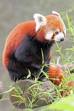 phototoartguy:  Red Panda by Buggers1962 on Flickr ☛ http://flic.kr/p/frQ5od