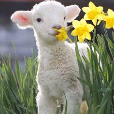 are you calling an ugly duckling? Wildlife photographer conjures up some animal magic Baby lamb and daffodils, beautiful images of spring.Baby lamb and daffodils, beautiful images of spring. Cute Baby Animals, Animals And Pets, Funny Animals, Exotic Animals, Animal Babies, Funny Cats, Baby Lamb, Sheep And Lamb, Baby Sheep
