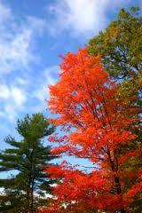 Bildresultat för höstfärg träd