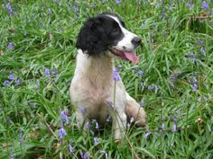 My spaniel made me laugh every day of her five years.  She was an absolute delight.