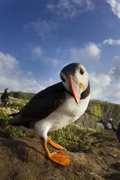 Puffin, Skomer | by Daniel Trim
