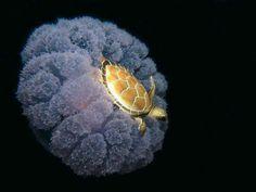 A turtle riding a jellyfish - Imgur