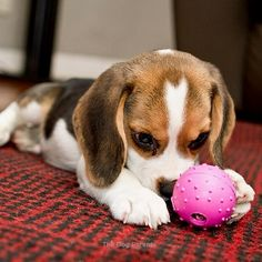 Are you interested in a Beagle? Well, the Beagle is one of the few popular dogs that will adapt much faster to any home. Baby Beagle, Beagle Puppy, Tiny Puppies, Cute Puppies, Puppy Pictures, Animal Pictures, Beagle Facts, Hound Dog, My Animal