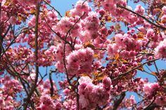 We have an big old cherry tree in our garden that blooms late in spring with huge heavy dark pink blossoms. The petals then drop (all at...