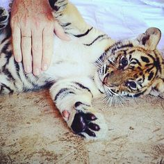 A visit to Thailand's Tiger Kingdom reveals that some tigers don't mind being cuddled.