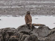 Les oiseaux de la région de La Pocatière, Québec: Un total de 123 espèces pour le message #250!