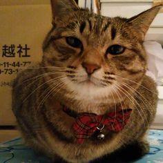 「おはにゃーん❗good morning❗  #ねこ #猫 #猫写真 #ネコ #きじねこ #きじとら #キジネコ #キジトラ #cat #catstagram #instacat #neko #tabby #meow #kitty #고양이」