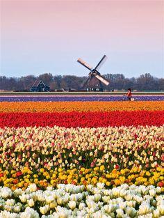 Campos de tulipanes en Alkmaar