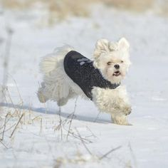 Dog wearing a sweater running through snow.
