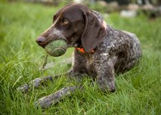 english gogs brown spotted? | German Shorthaired Pointer Appearance