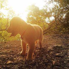 Pet of the Week: Glowing Golden Retriever Pup