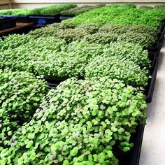 We've battled humidity for this month and are coming out smiling for deliveries this week end. #natural light #microgreens #pgm#premiergreensmaui #arugula #garnetgiant #mustards by premiergreensmaui