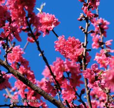 Flowering peach, Red Baron, from The Daily Muse