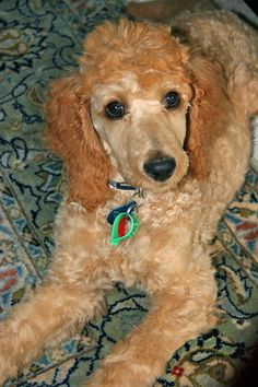 I want my next poodle to be this color and I shall name her Tula :)
