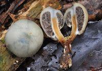 """Pălăria libertății cu pungă (Psilocybe weraroa) http://ciupercomania.blogspot.com/2013/12/palaria-libertatii-cu-punga-psilocybe.html ce crăciun """"vedem"""" moșul?"""
