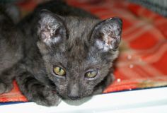 SuSu is an affectionate, friendly kitten who likes human attention and is well socialised; he is still very young so his full personality is yet to really shine through.