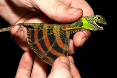 Five-banded Gliding Lizard: Proving Dragons Are Mythical No More