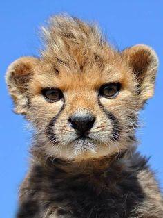 Punk baby cheetah