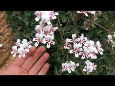 Pelargonium pulchellum in habitat