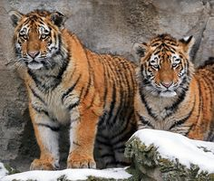 Amur Tigers; Twins by Klaus Wiese on 500px