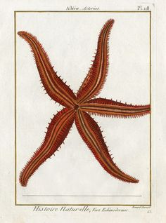 Lamarck Antique Prints of Starfish, Sand Dollars, Sea Urchins from 1782-1832