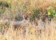 A little cuteness hidden in the grass for Image: Caryn Hulse Big 5, Wildlife Photography, Predator, Cubs, Lions, Wander, South Africa, Tuesday, Safari