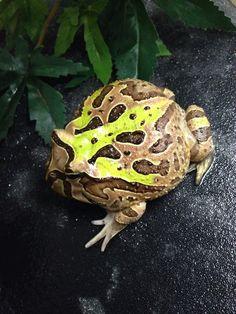 Pacman frog