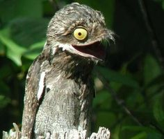 The Potoo, a nocturnal bird that resides in Central and South America. - Imgur
