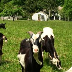 """I've always wanted a goat... and a Corgi to herd her.    photo courtesy """"Content in a Cottage"""""""