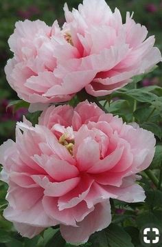 when do peonies bloom Amazing Flowers, Pink Flowers, Beautiful Flowers, Coral Peonies, Peony Flower, Flower Art, Tree Peony, Art Floral, Peony Painting