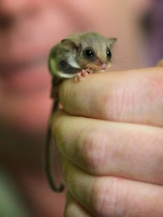 Are sugar gliders good pets? Yes– however they are not as low-maintenance as hamsters or gerbils.