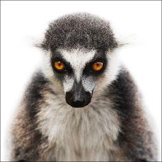 Animal Portraits : Morten Koldby(http://koldby.com/) - ワオキツネザル