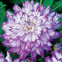 Dahlia 'Who Dun It ' bulb 1-8'h x 2'w sun blue pink white summer fall attracts birds low maintenance cut flower