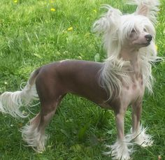 chinese-crested-dog-powderpuff.jpg (1024×995)