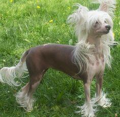 chinese-crested-dog-powderpuff.jpg (1024×995)
