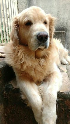 Logan! Golden Retriever! #golden #goldenretriever