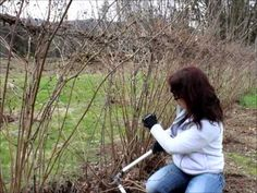 Learn How to Prune Raspberries and how to tell if you have ever bearing or summer bearing plants. Tips for choosing which is best for you and how to prune.