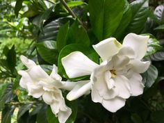 White flowersin the Southern June Garden light updim evenings joyouslyandilluminate gray dawns with gladness- Humble or magnificent, with pure fragrant easeSummer White Flowersgrace our lives…