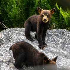 Black Bear Cubs in GreyRock at Lake Lure