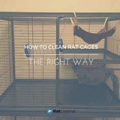 How To Clean Rat Cages The Right Way >> http://www.ratcentral.com/how-to-clean-rat-cages/