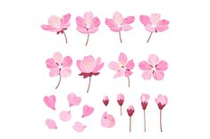Set of beautiful cherry tree flowers isolated on wite background. Collection of pink sakura or apple blossom, - Illustrations