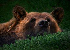 tulipnight:  Grizzly byAshley Hockenberry