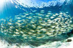 One traffic jam we wouldn't wanna miss.. school of fusilier fish (www.facebook.com/sipadanresort)