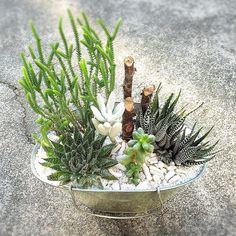 手直しのブリキバケツ 復活の兆し まなみにひっくり返されたやつw #green #plants #plantstagram #euphorbia #airplants #cactus #cacti #succulent #succulents #succulove #tillandsia #greeninterior #garden #gardening #cute #likeforlike #ナチュラルインテリア #植物 #ガーデン #多肉 #多肉植物 #観葉植物 #サボテン #アンティーク #雑貨 #ガーデニング #ガーデニング雑貨 #寄せ植え #ナチュラルガーデン #リメ缶 by hitomi413