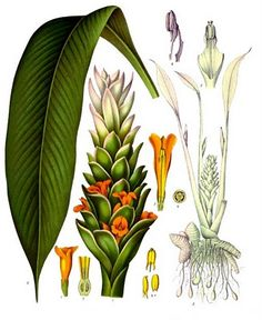 """Methow Valley Herbs: Turmeric: """"A medicine cabinet in a curry bowl."""""""