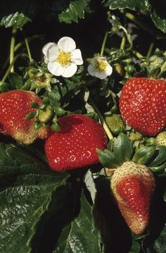 How to Grow Strawberries in Rain Gutters:... you can convert a piece of rain gutter into a planter to grow your own strawberries. You can mount these planters on a deck rail or mount several to the side of your house or shed to grow the plants vertically.