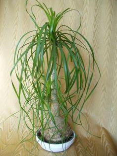 CAUDICIFORM Beaucarnea recurvata // ponytail palm.  I have this plant, have had for 13 years, but forgot what it was!!!
